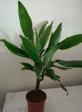 Dracena 'Golden Coast'