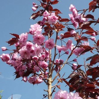 Японска вишна (Prunus Royal Burgundii)